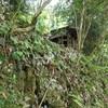 廃屋の石垣にユキノシタ