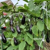 秋茄子の収穫