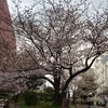 今日が最後の見ごろ?東京の桜と大失敗のハイカット靴。