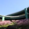 今年の河津桜。