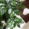 アラビカにロブスタ、コーヒーノキって何科の植物なの?