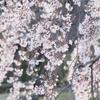 小石川後楽園~昼のお花見~