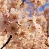 満開の桜をカメラで撮ってきた