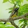 ベリーズ アルツンハの、Magnolia Warbler(マグノリア ワーブラー)