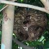 磐田市で庭木に出来たスズメバチの巣を駆除をしてきました