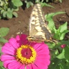 蝶といえばやはりアゲハチョウ