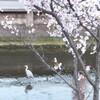 桜土手 花筏
