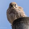 🦜野鳥の回【112】🆕68種類目寒い朝チョウゲンボウを確認!