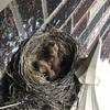 裕坊の家のロビンさん、雛が孵りました