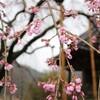 大分県中津市 桜の開花