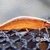 オニヌマエビ Atyopsis spinipes