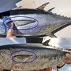 ヨコワ(クロマグロの幼魚)とコシナガマグロの違いをかんたん解説します👆 【 知らないと損をする⁉ 】
