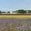 能美市石子町の休耕田で期間限定の三色の花絨毯を撮った