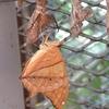 シンガポールの沿線昆虫ガイド㉓蝶の羽化も見られるチャンギ空港のバタフライガーデン