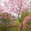 春爛漫の白髭岳北尾根(今西ルート)