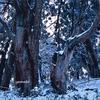 片波川源流域伏条台杉群生地  (京都市北部アシウスギの森)