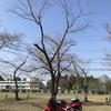 R3年3月14日 母智丘公園 千本桜 1本開花していた。