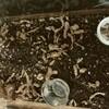 オキナワアオカナヘビの床材変更