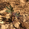 【ラッセルルピナス】苗の量産に成功!いよいよ花壇へ…!