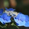 (2017.6.29)仕事合間に紫陽花眺め。