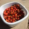 ミニトマト収穫&出荷