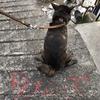 甲斐犬サンと日本スピッツ マコ〜姉妹ナノニ性格違ウノハ個性デス(`・ω・´)