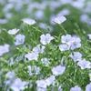 亜麻の花【2】