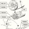 末梢神経損傷の基礎 損傷機序〜回復過程