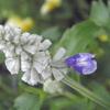 ブルーサルビアが咲く