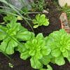 【家庭菜園】白菜植えました。
