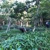 知床五湖 地上遊歩道散策 ヒグマとミズバショウ、森には重要などんぐりの木、力強い木々