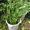 スタンダード仕立ての準備としてトゲナシノイバラの枝を剪定して台木を造ろうと挿し木の準備!
