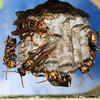 セグロアシナガバチの巣に変化あり・3
