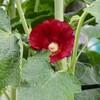 「佐久の季節便り」、「タチアオイ(立葵)」の初花が、「梅雨入り」に咲いて…。