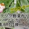 【ワクワク野菜作り!】芽キャベツとカリフラワー 植え付け後二ヶ月