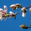 3月から4月は、モクレンやコブシも咲き出す早春です