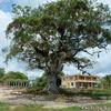 ベリーズ クルックドツリー野生生物保護区の樹