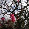 ヨクナル庭先の梅の花が咲きました
