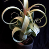 【Tillandsia Curly Slim】開花準備