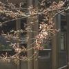 桜が待ち遠しい*