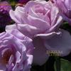 匂いのあるバラ① ブルームーン Rose [Blue Moon]