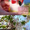 子どもの日は中島公園で桜吹雪を楽しみました!<札幌の春の花>