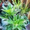 パキポディウム実生、種蒔きから3年弱