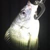名古屋港の釣り:チニングゲーム