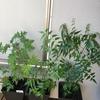 さっちゃんのベランダ菜園で植え替えたり、挿木で増やしたり始めました。