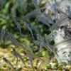 トランスルーセントグラスキャットフィッシュ Kryptopterus bicirrhis