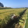 今年、最初の稲刈り