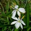 オリヅルランの花 2012