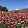 国営アルプスあづみの公園、チューリップと菜の花が見頃だよ。2017春