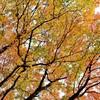 今週の一枚・ハナノキ紅葉